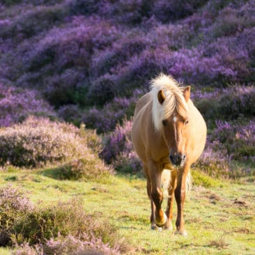 horse on the purple hills
