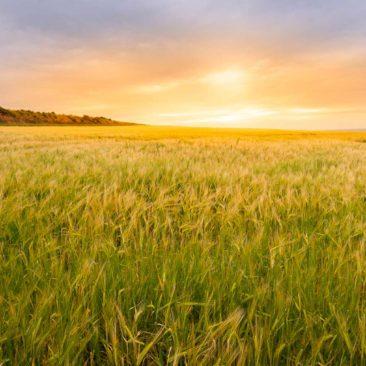 sunset-wheatfield-landscape-scotland-1