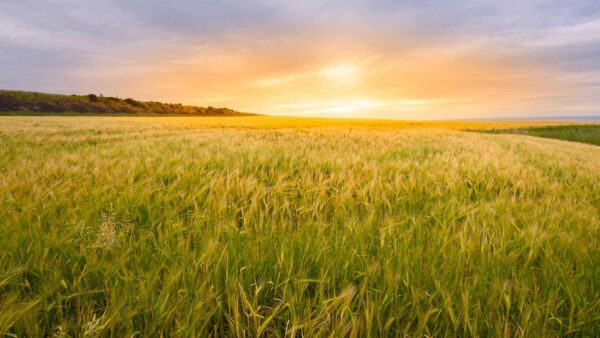 sunset-wheatfield-landscape-scotland-1